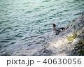 カモ 鳥 野鳥の写真 40630056