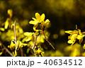 植物 花 レンギョウの写真 40634512