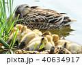 カルガモの黄色い産毛のヒナドリ達 池の水辺で 40634917
