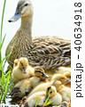 カルガモの黄色い産毛のヒナドリ達 池の水辺で 40634918
