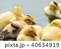 カルガモの黄色い産毛のヒナドリ達 池の水辺で 40634919