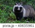 ホンドタヌキ(山梨県) 40635961
