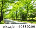 メタセコイア 並木道 木の写真 40639209