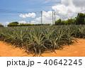 パイナップル畑 40642245