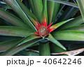 パイナップル畑 40642246