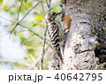 コゲラ 小鳥 キツツキ科の写真 40642795