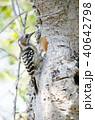 コゲラ 小鳥 キツツキ科の写真 40642798