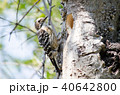 コゲラ 小鳥 キツツキ科の写真 40642800