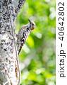 コゲラ 鳥 小鳥の写真 40642802