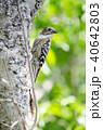 コゲラ 鳥 小鳥の写真 40642803