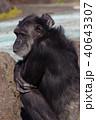 チンパンジー 40643307