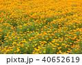 ポピー 花畑 ポピー畑の写真 40652619