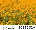 ポピー 花畑 ポピー畑の写真 40652620