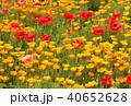 ポピー シャーレーポピー 花畑の写真 40652628