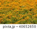 ポピー 花畑 ポピー畑の写真 40652650