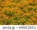 ポピー 花畑 ポピー畑の写真 40652651