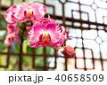 蝴蝶蘭 Phalaenopsis 胡蝶蘭 Flower 蘭花 はな Moth Orchid 花卉 40658509