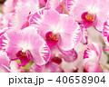 蝴蝶蘭 Phalaenopsis 胡蝶蘭 Flower 蘭花 はな Moth Orchid 花卉 40658904