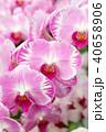 蝴蝶蘭 Phalaenopsis 胡蝶蘭 Flower 蘭花 はな Moth Orchid 花卉 40658906