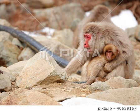 子供を守るため威嚇する親猿 40659167