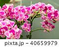 蝴蝶蘭 Phalaenopsis 胡蝶蘭 Flower 蘭花 はな Moth Orchid 花卉 40659979