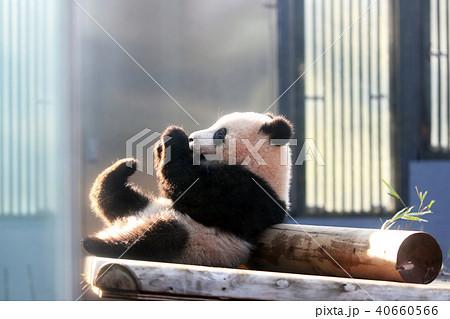 上野動物園のジャイアントパンダのシャンシャン 40660566