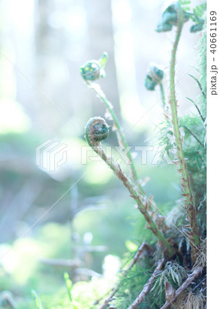 シダの森 40661169