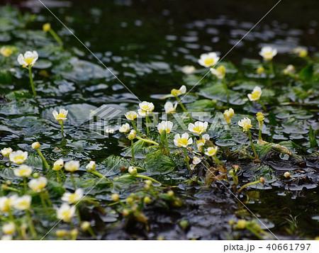 梅花藻咲く清流 40661797