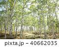 白樺林 40662035