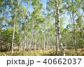 白樺林 40662037