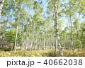 白樺林 40662038