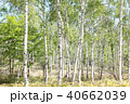 白樺林 40662039