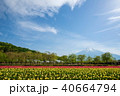 花の都公園 チューリップ 富士山の写真 40664794