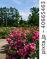 花 バラ 薔薇の写真 40665463