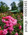 花 バラ 薔薇の写真 40665465