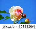 薔薇 バラ 花の写真 40668904