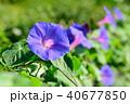 朝顔 花 開花の写真 40677850