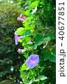 朝顔 花 開花の写真 40677851