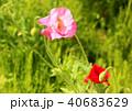 ポピー シャーレーポピー 花の写真 40683629