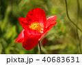 ポピー シャーレーポピー 雛芥子の写真 40683631