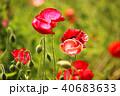 ポピー シャーレーポピー 雛芥子の写真 40683633