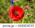 ポピー シャーレーポピー 雛芥子の写真 40683635
