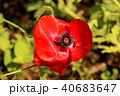ポピー シャーレーポピー 雛芥子の写真 40683647