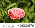 ポピー シャーレーポピー 雛芥子の写真 40683670