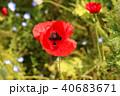 ポピー シャーレーポピー 雛芥子の写真 40683671