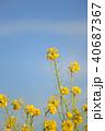 菜の花 春 花の写真 40687367