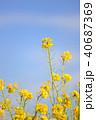 菜の花 春 花の写真 40687369