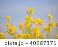 菜の花 春 花の写真 40687371