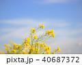 菜の花 春 花の写真 40687372