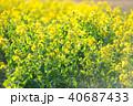花畑 菜の花 菜の花畑の写真 40687433